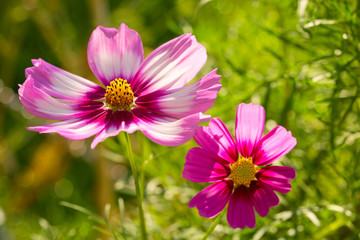 Two pink Cosmos flowers in summer garden.