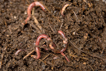 Earthworms (Dendrobena Veneta) for Fishing or Compost