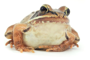 brown frog on white background macro closeup
