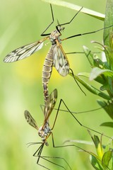 Tipula oleracea during the mating season 2