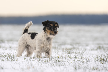 jack russell dog standing in the snow