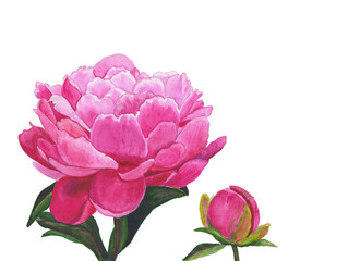 Flower peony painted with watercolors on  white background