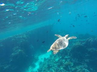 Schildkröte beim schwimmen