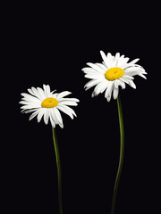 Two daisies isolated on a black background.