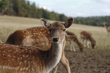 young doe fallow deer on meadow