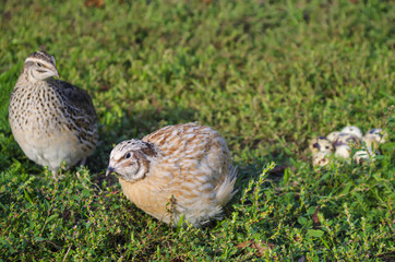 quail on a green grass in the spring
