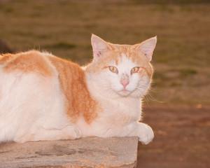 Orange and white tomcat back lit by evening sun