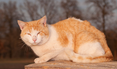 Rough looking orange and white tomcat staring at the viewer in evening sun