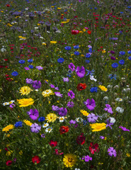 Colourful blooming wild flowers in an idyllic spring time meadow