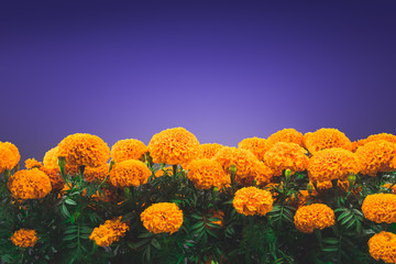 """cempasuchil flower used for mexican altars for """"day of the dead"""""""