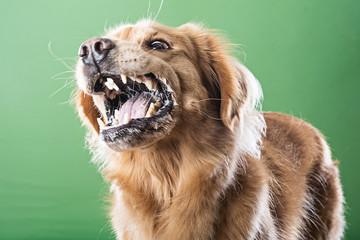 Aggressive barking dog