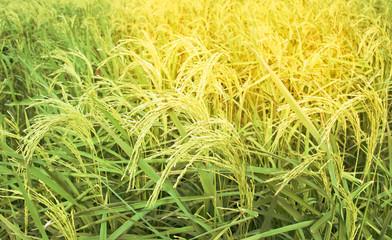 Mountain Rice Field