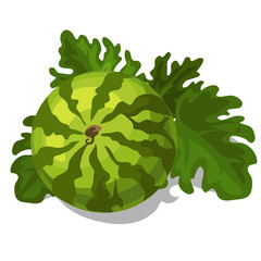 Big ripe juicy watermelon with leaves. Vector
