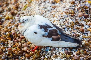 One pigeon in black and white color is the sea in shells