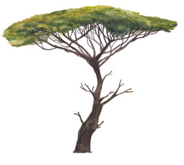 Large Acacia tree isolated on white. Watercolor painting illustration of East Africa