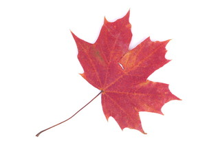dry maple leaf on a white background