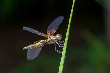 Male yellow-striped flutterer (Rhyothemis phyllis) on a grass