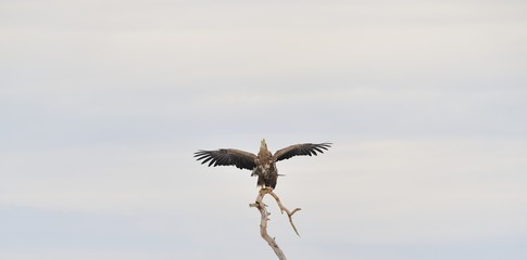 White-tailed eagle wings spread. Eagle on tree. Bird of prey.