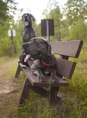 Great Danes on a bench