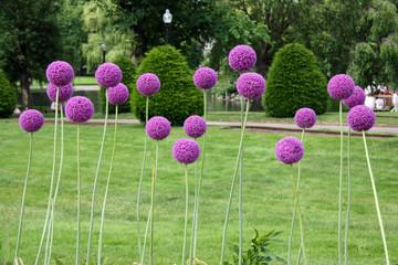Ail-boule violet en fleurs au printemps à Boston, USA