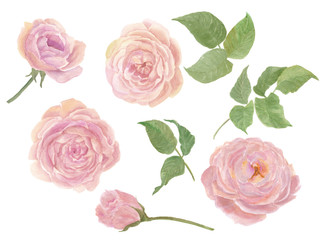 Watercolor painting rose flowers and leaves isolated on white. Design for invitation, wedding or greeting cards