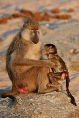 baboon monkey with little baby in their nature habitat, african nature, wild africa, african wildlife, rocky mountains