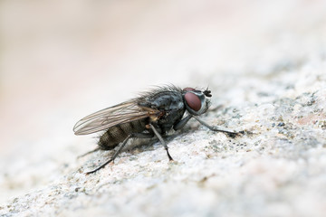Macro of a flesh fly sitting on a bright rock surface
