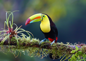 Keel-billed toucan perched on a moss covered branch in Costa Rica