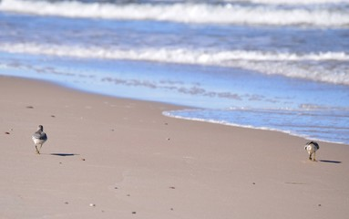 Para biegusów na plaży