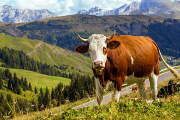 italian  cows on a pasture 2