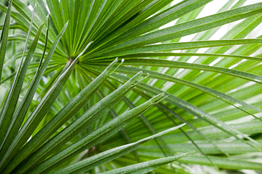 Chamaerops Humilis plant - beautiful details and texture in botanical garden
