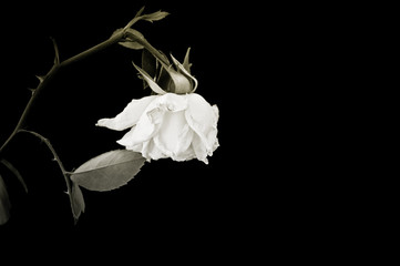 Withered rose on black background