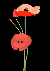 Vector poppy flower, hand painted draw