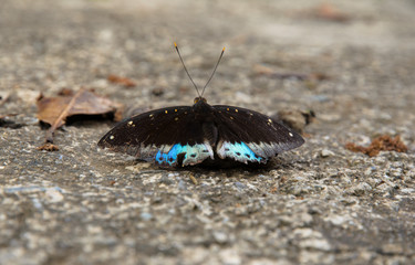 A butterfly feeding on the ground