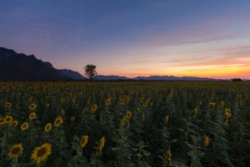 Sunset over sunflower field, natural landscape background