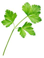 Garden parsley herb (cilantro) leaf isolated on white background