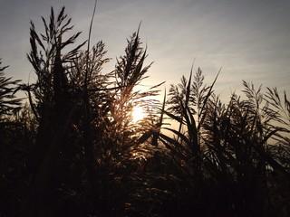 Gräser im Wind bei Sonnenuntergang