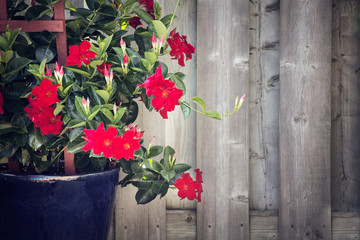 red adenium growing in a garden