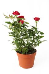 Piantina di rosa rossa