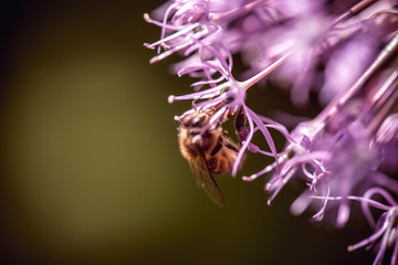 Bee collecting nectar on purple alum garlic flower. macro close-up