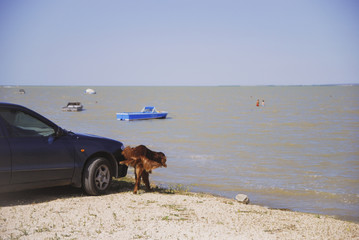 Dog peeing on wheel tire of a blue automobile at sea background