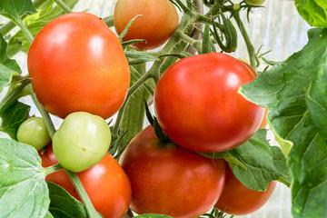 Fotoväggar - Tomaten am Strauch