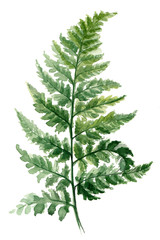Fern painted with watercolors on white background. Green forest plants branch. Forest herb