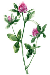 Clover. Sprig of green painted with watercolors on white background. Study of forest herbs