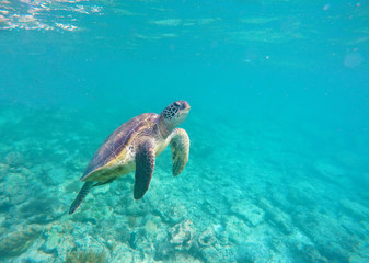 Green sea turtle in wild nature of tropical sea