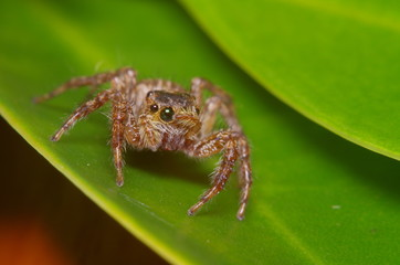 Small jump spider on green leaf