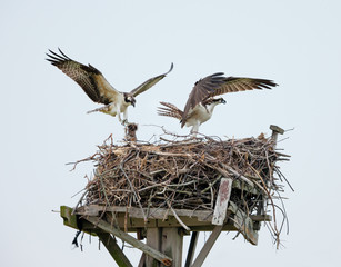 Couple of male and female ospreys with open wings building their twig nest on a nest platform in Jamaica Bay, New York City