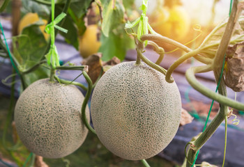 japanness melons or canary melon or green melons or cantaloupe melons on tree growing in greenhouse supported by string melon nets.