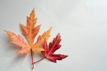 Vivid maple leaves isolated on white background. Autumn bright maple leaves. Two isolated orange and red leaves