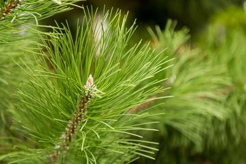 Branch of pine or Siberian cedar closeup